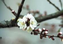 гілка цвіт